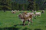 Herd of cows in pasture, Reutte area, Austria, Alps.