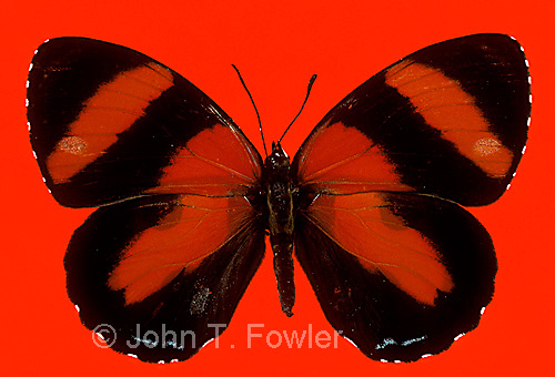 Tropical butterfly Callicore pitheas