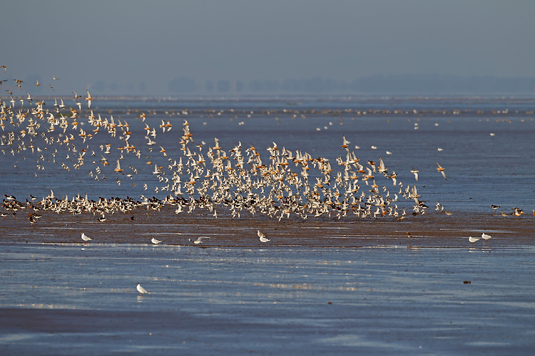 Mixed wafer flock including Knot - Calidris canutus, Bar-tailed Godwit - Limosa lapponica and Dunlin - Calidris alpina.