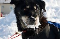 Frosty Iditarod sled dog, Shaktoolik checkpoint, Alaska