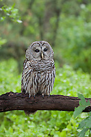 Barred Owl, Pine Barrens, New Jersey