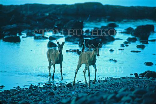 Twin bucks, white-tailed deer, Odocoileus virginianus, along Lake Superior, in Split Rock State Park, Minnesota.