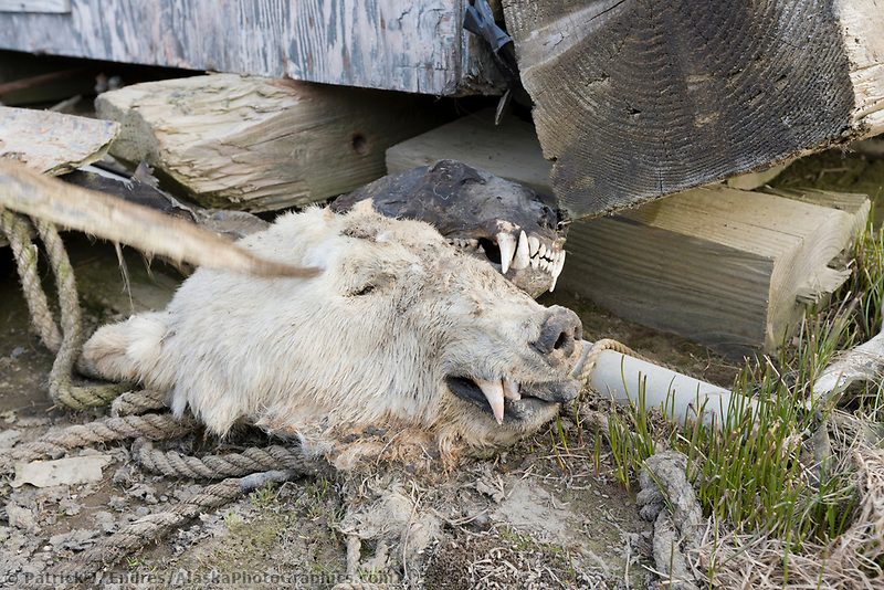 Native Alaska Inupiaq subsistence hunting remnants near a home in Utqiagvik (Barrow), Alaska.