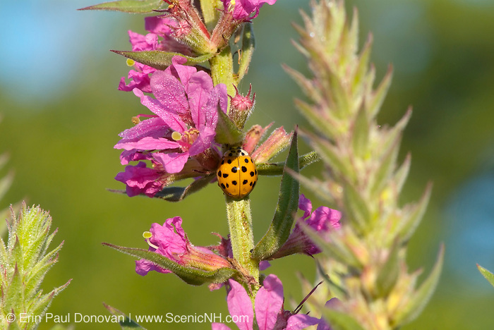 Purple loosestrife - Lythrum salicaria-during the summer months in New Hampshire  USA. .Notes: