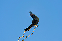 570800003 a wild phainopepla phainopepla nitens perches on a dead tree limb near a water source in the northern mojave desert california