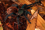 Tarantula Spider, Green Bottle Blue, Chromatopelma cyanopubescens, Venezuela, Peru, on leaf litter jungle floor, leg raised.South America....