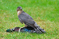 This adult Cooper's hawk captured and killed a male wood duck and then fed upon its meat.
