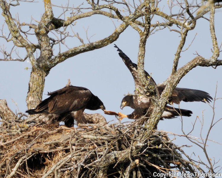Two eaglets at the Llano, TX nest tug on a turtle.