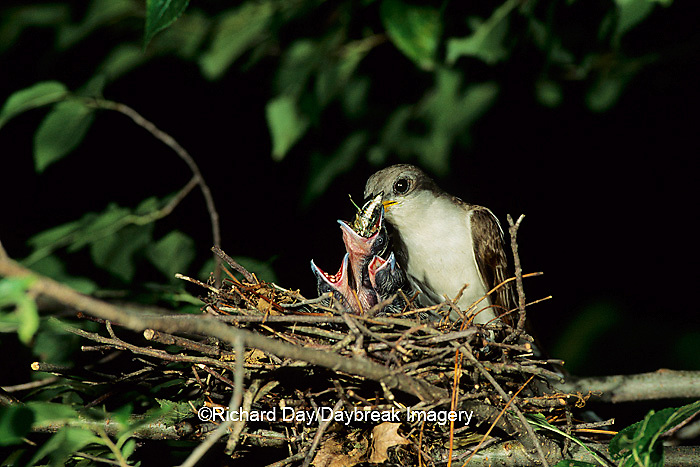 01099-01104 Yellow-billed cuckoo (Coccyzus americanus) adult feeding locust to nestling   IL