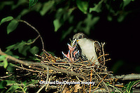 01099-01104 Yellow-billed cuckoo (Coccyzus americanus) adult feeding locust to nestling   IL