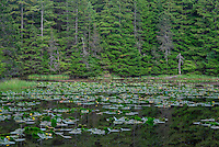 WASJ_D230 - USA, Washington, San Juan Islands, Orcas Island, Yellow pond lily in bloom on Summit Lake and surrounding evergreen forest, Moran State Park.