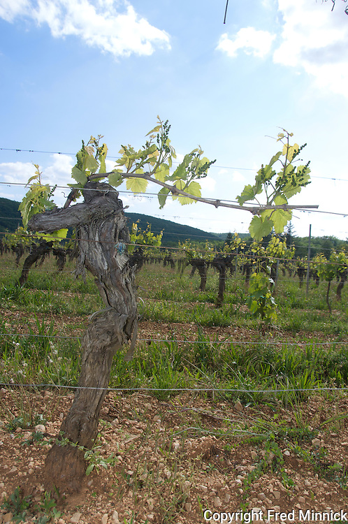 A 60-year-old vine in Cahors, France.