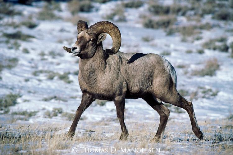 Portrait of a bighorn sheep.