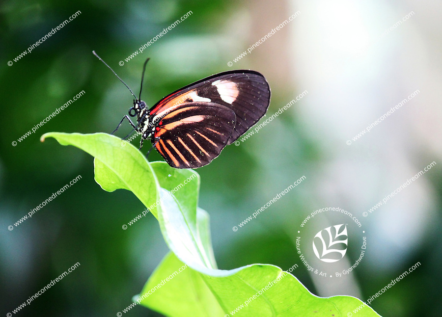 Stock photo: Vibrant orange and black butterfly perched on the tip of a big leaf in the Callaway gardens butterfly center Georgia, USA.