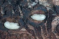 Buchdrucker, Grosser Borkenkaefer, Achtzaehniger Borkenkaefer (Ips typographus), Puppen. | engraver beetle, common European engraver, spruce bark beetle (Ips typographus), pupas in bark.