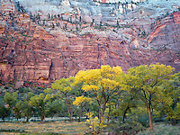 Fall colored cottonwood trees. Zion National Park, Utah.