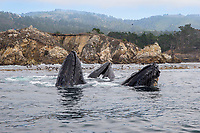 Feeding Humpback Whales, Point Lobos