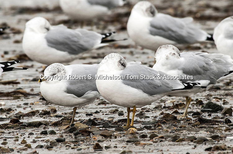 Ring-billed Gulls over-wintering in Hingham, Massachusetts