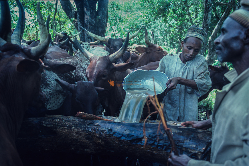 M'Bororo shepherds administering natron to their cattle