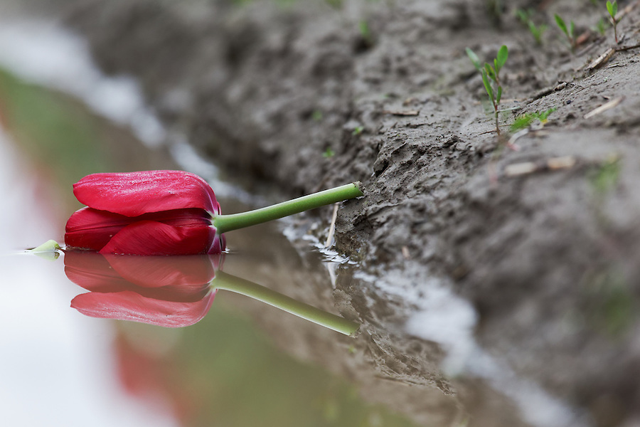 Red tulip flower head laying in muddy water, Skagit Valley, Skagit County, Washington
