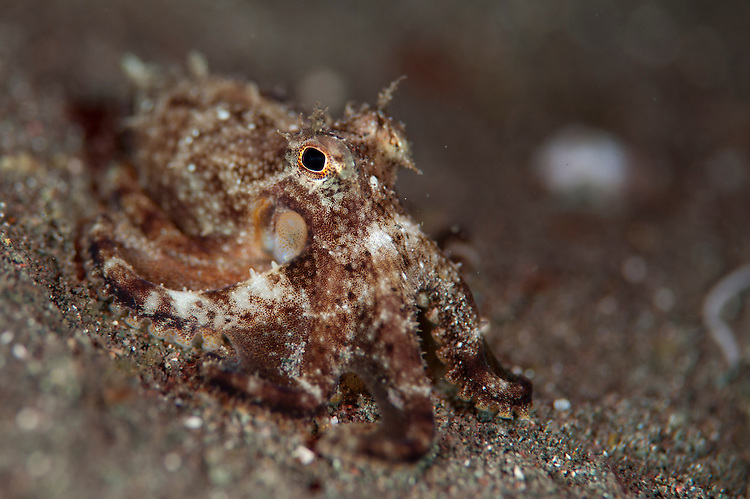 Day octopus : Octopus cyanea, juvenile on black volcanic sand, Komodo National Park