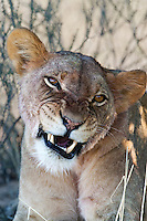 Portrait of a snarling lioness