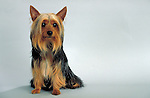 Silky Terrier<br />