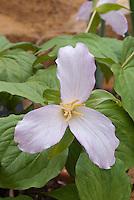 Trillium grandiflorum f. roseum, Pink showy Trillum