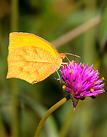 Tailed orange winter form