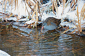Water Rail (Rallus aquaticus) With Crustacean in mouth In a niche, feeding in a ciruit around a little opening in a ditch whilst all water bodies are frozen for other birds in harsh winters. The sounds emited by the Water rail are described, grunts followed by a high-pitched piglet-like squeal and ending in more grunts.