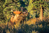 Bull moose scents for cow in the early morning sunrise in a spruce forest in Denali National park, Alaska. The moose is not bugling, contrary to popular opinion, they do not bugle.
