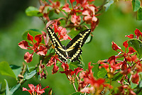 Giant Swallowtail Butterfly (Papilio cresphontes) flying..