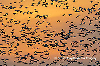 00754-02815 Snow Geese (Anser caerulescens) in flight at sunset Marion Co. IL