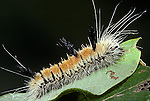 Fingered (alder) dagger moth Acronicta dactylina