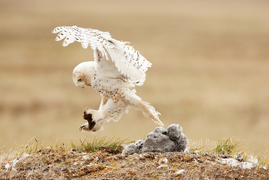 A female Snowy Owl, Bubo scandiacus, returns to her nest with a lemming for her waiting young on Alaska's North Slope.