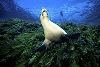 Australian sea lion, Neophoca cinerea