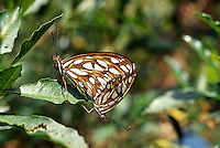 Gulf Fritilary (Agraulis vanillae), alien, eats passion family plants