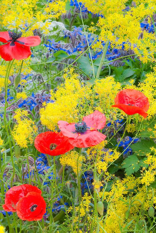 Isatis tinctoria (Woad), red poppies + Borago officinalis borage in a yellow, red and blue herb garden color theme