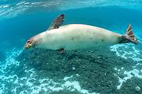 Hawaiian monk seal, ilioholokauaua, Neomonachus schauinslandi, endangered and endemic, Kure Atoll, Papahanaumokuakea Marine National Monument, Northwestern Hawaiian Islands, Hawaii, USA, Pacific Ocean