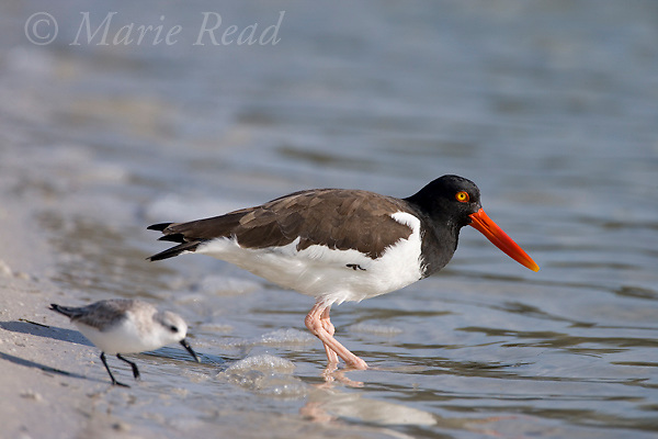 American Oystercatcher (Haematopus palliatus) and non-breeding plumage Sanderling (Calidris alba),  Fort DeSoto park, Florida, USA