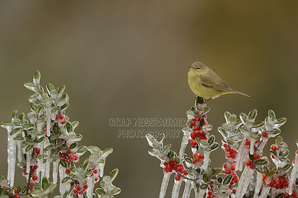 Orange-crowned Warbler (Vermivora celata), adult perched on icy branch of Yaupon Holly (Ilex vomitoria) with berries, Hill Country, Texas, USA
