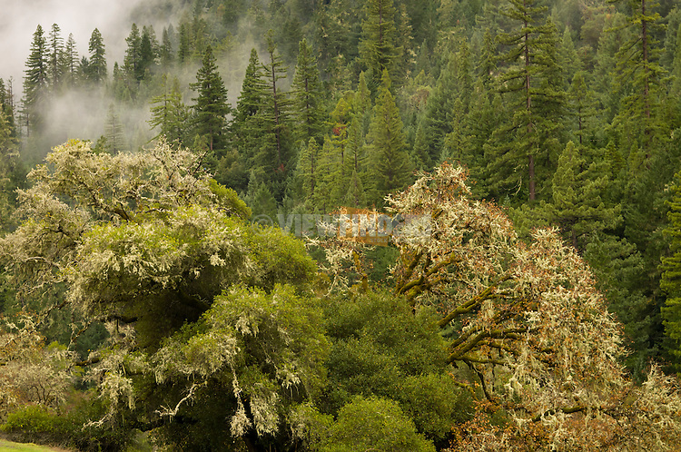 Gnarled trees on a foggy day in Northern California.