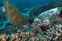 Hawksbill turtle Eretmochelys imbricata swimming over the hard coral reef, North point, The Similan islands, Andaman Sea, Thailand, Indian Ocean, Asia