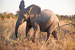 Young Male Elephant Challenging our Jeep in Chobe National Park in Botswana in Africa
