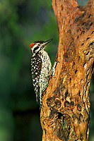 597930019 a wild male ladder-backed Woodpecker picoides scalaris perches on a dead cactus plant skeleton near madera canyon green valley arizona united states
