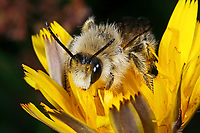 Hosenbiene, Dunkelfransige Hosenbiene, Braunbürstige Hosenbiene, Rauhfüßige Hosenbiene, Raufüßige Hosenbiene, Dasypoda altercator, Dasypoda plumipes, Dasypoda hirtipes, Pantaloon Bee, l'abeille à culottes, Hosenbienen