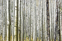 A thick grove of aspen tree trunks shimmer in the sun, northeast of Telluride, Colorado.
