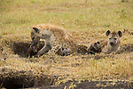 Two spotted hyena mothers care for their cubs in Masai Mara, Kenya.