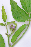 Soybean Legume Plant Parts, showing leaves, stem, bean, flowers, against white background for cutout or silhouette, educational pieces
