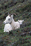 Dall's sheep and baby